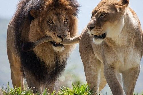 Секс человек и лев