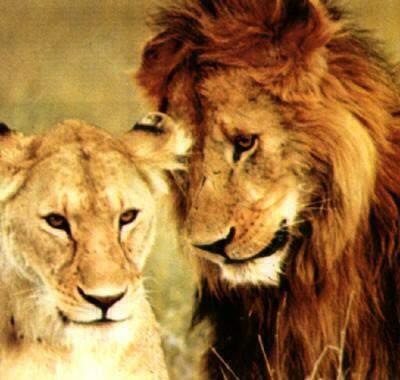 Лев и львица2