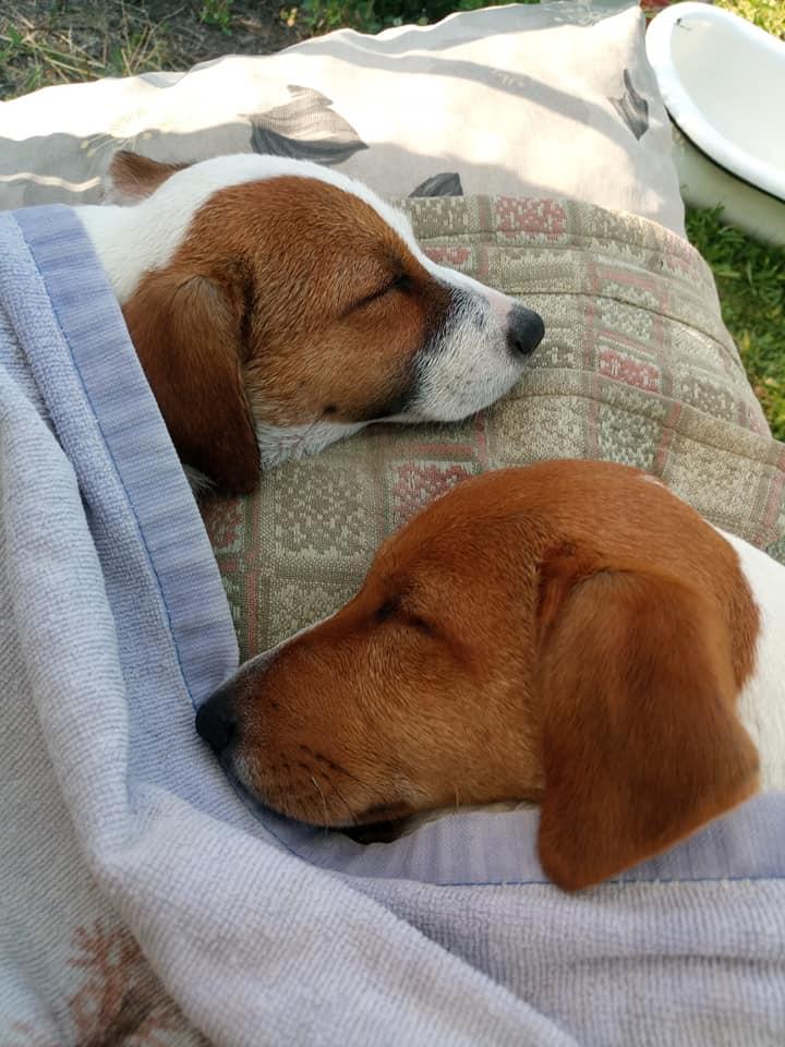 Картинка наших собак. Подробности в постскриптуме