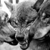 волчья-стая