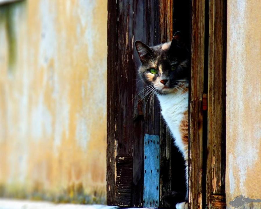 wpapers_ru_Трёхцветная-кошка