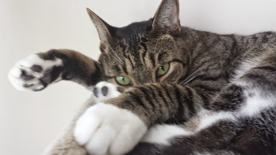 Moose is a tabby cat.  This image features him staring at the camera with some annoyance, as if he is just been woken up.