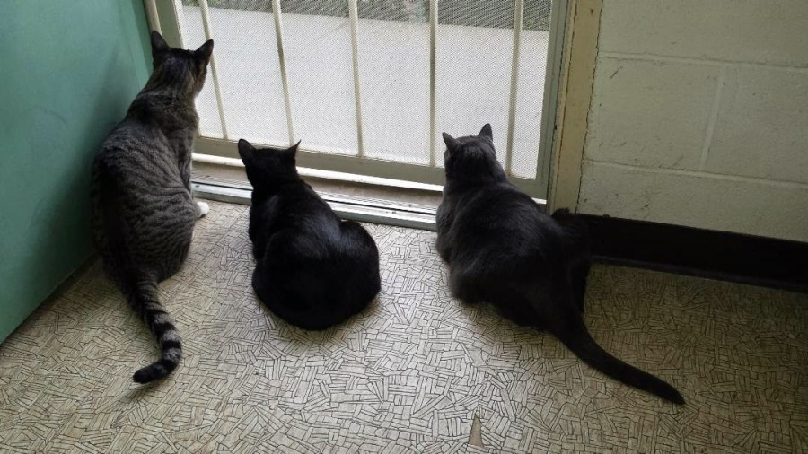 Three cats the front door - its a metal security door.  They are all staring out of it with great focus.