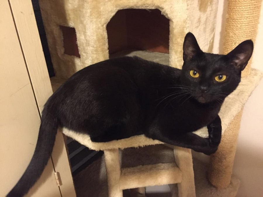 BB Michaels on the middle level of the cat tree.  She is gazing at the camera looking very pleased with herself.