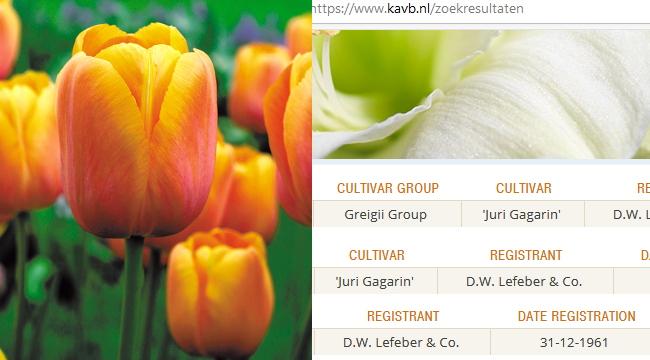 tulipa_yg