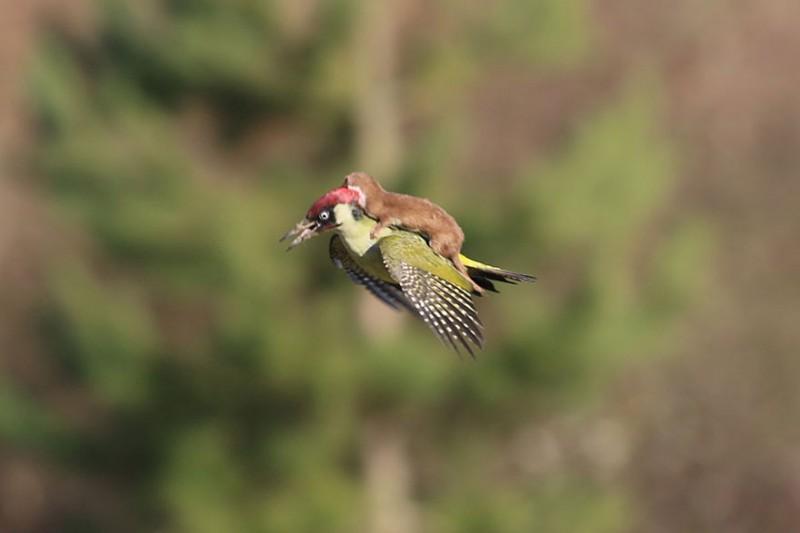 летящая на дятле ласка фото