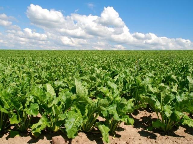 За рубежом закупается 100% всех предназначенных к посеву семян сахарной свеклы