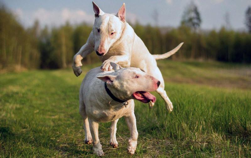 bull-terrier-1488180266-1