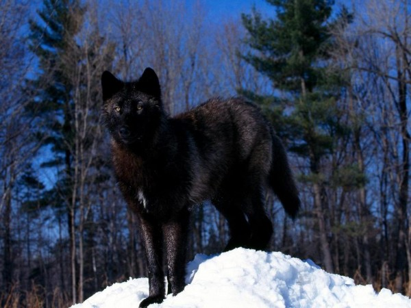 966 Wolf HD Wallpapers  Background Images  Wallpaper Abyss