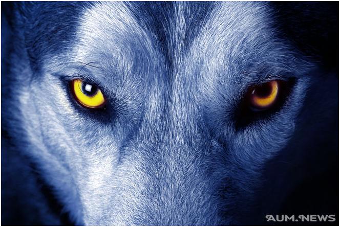 волк 1-1