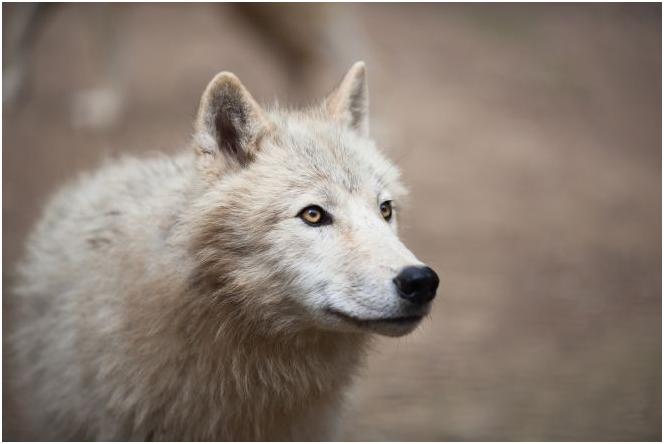 волк 1-2
