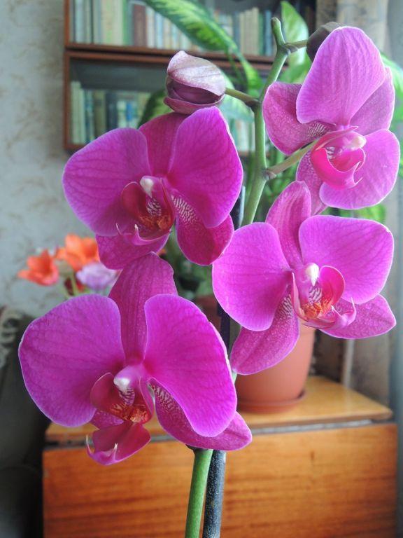 Тереза. Мои орхидеи_1