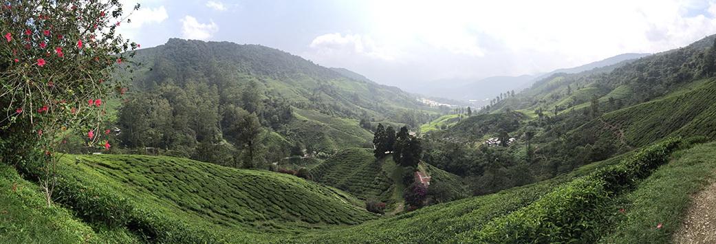 Чайные плантации, нагорье Камерон, Малайзия. Genka_1.jpg