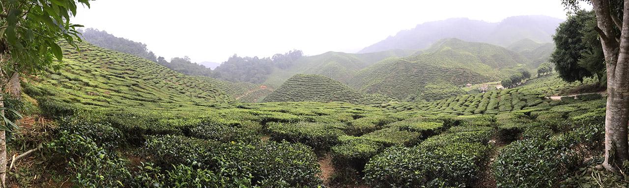 Чайные плантации, нагорье Камерон, Малайзия. Genka_2.jpg