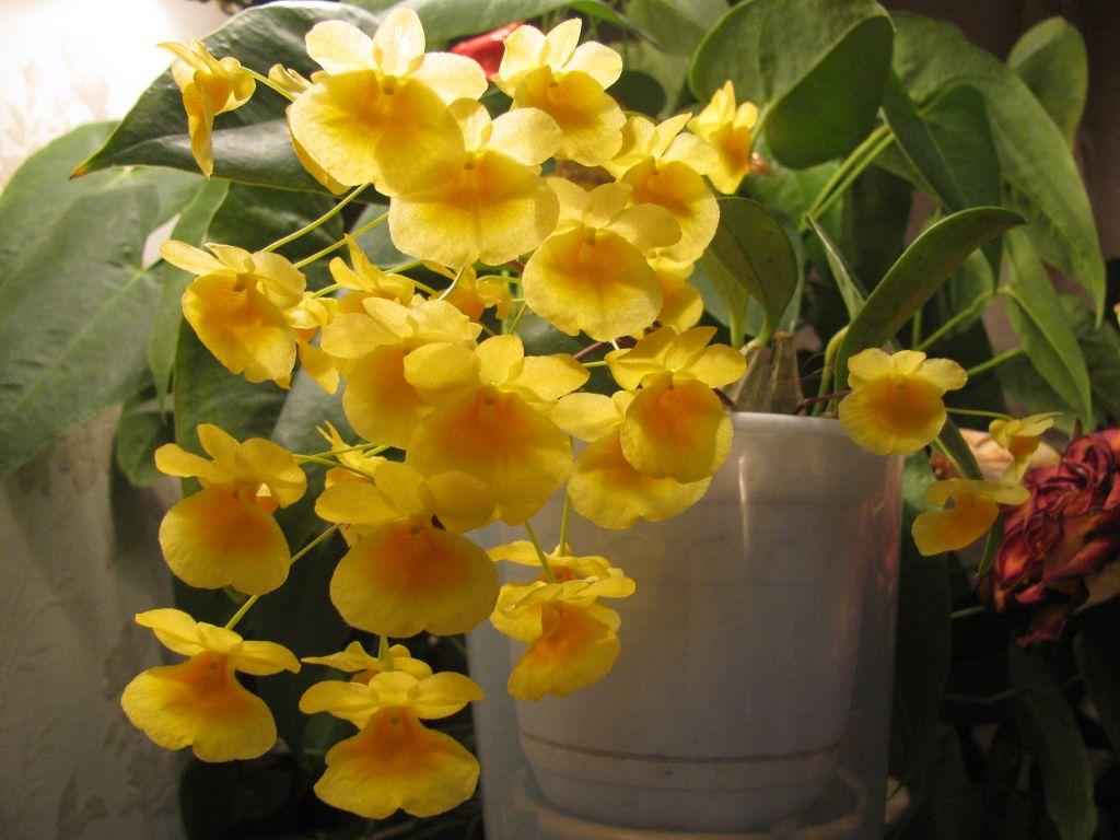 Вот такое чудо расцвело у меня! Орхидейка Dendrobium aggregatum из Японии. Фото Oxic.jpg