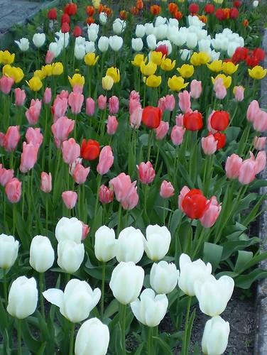 Мои тюльпаны. Фото Allegra.JPG
