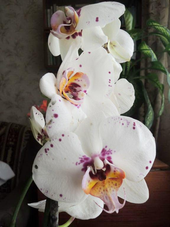 Мои орхидеи. Фото Тереза.jpg