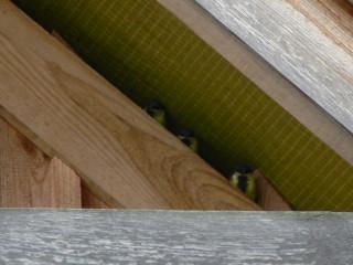 3 podloty wyglądają ze szpary pod dachem