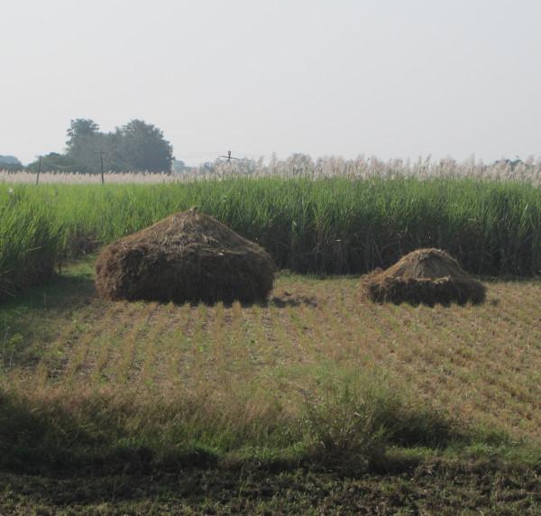 Поля сахарного тростника