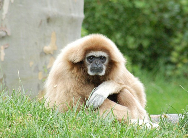 800px-White-handed_Gibbon_Hylobates_lar_Orange_1900px