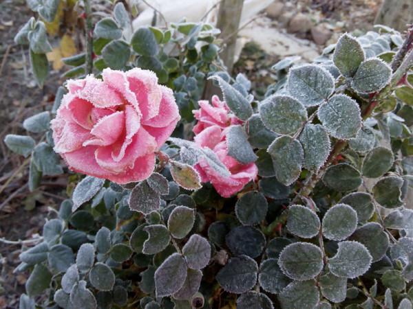 20131023-roses