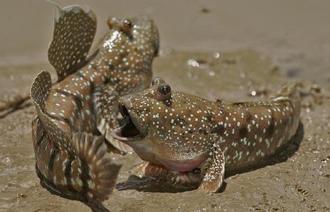 Mudskippers fighting