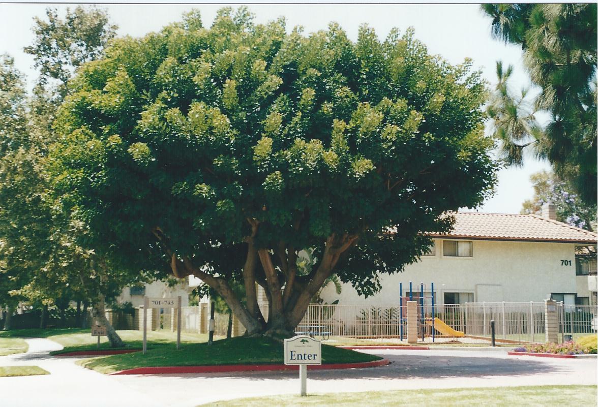 Broccoli tree Camarillo,CA