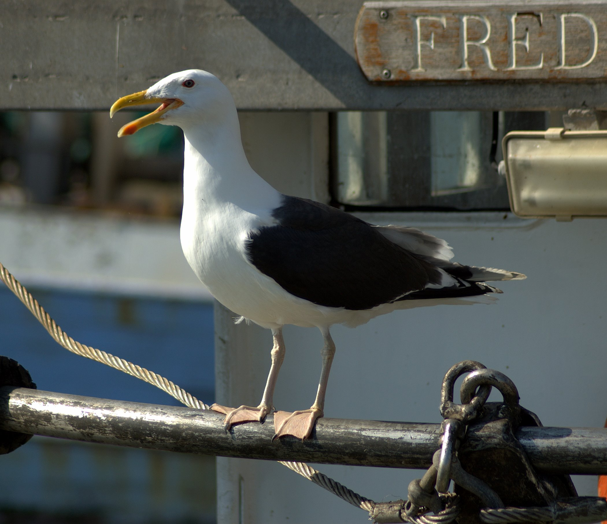 Great-Blacked-Backed-Gull