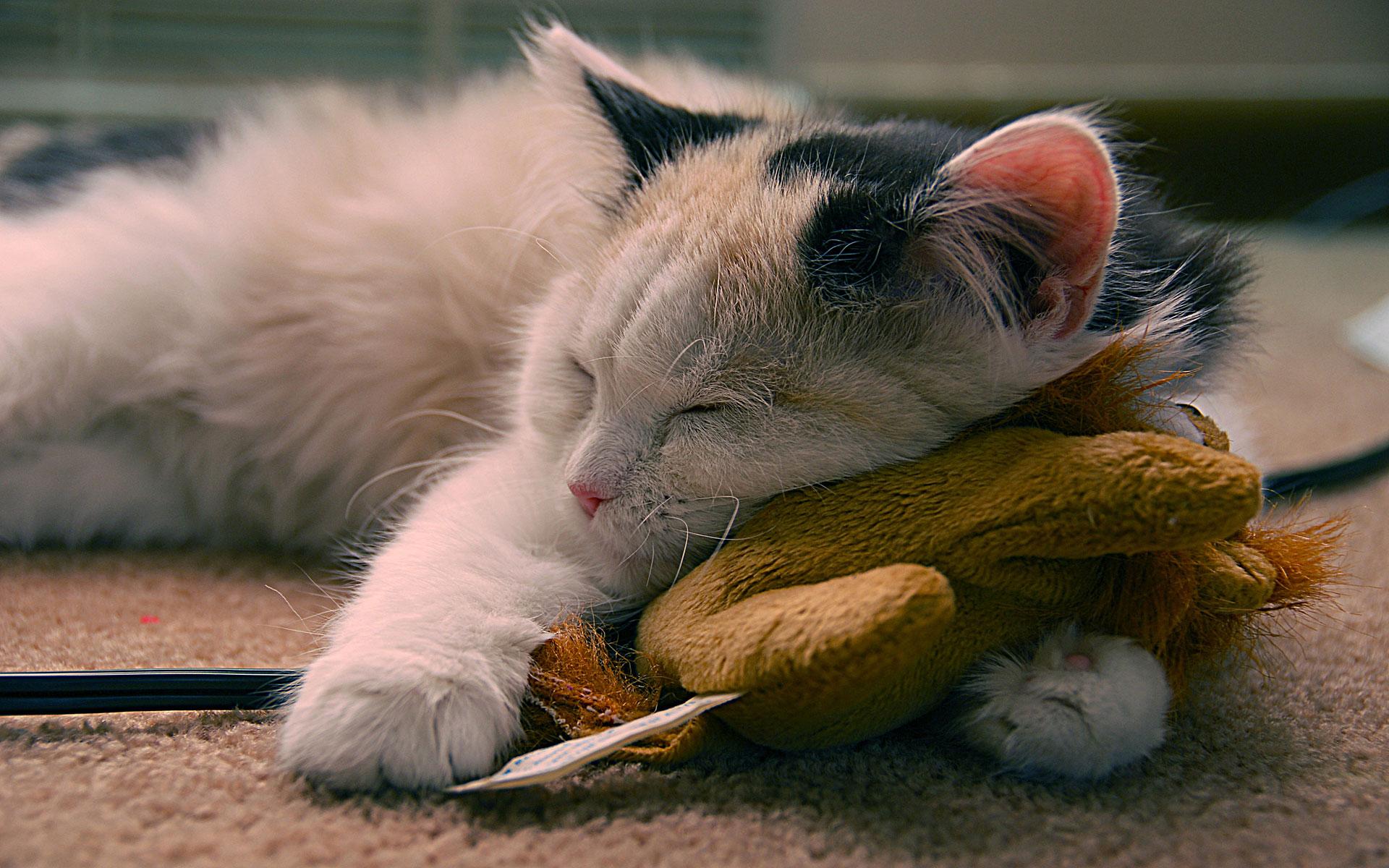 sleeping-cute-cat-hd-wallpaper
