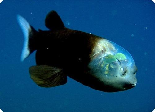 рыба с прозрачной головой