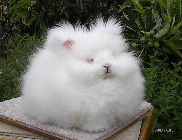 1185371109_english_angora_rabbits_02