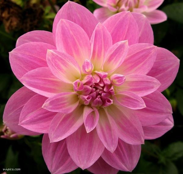 pinkflower000866vipics