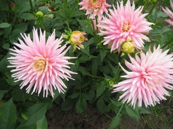cveti-iz-carstva-georginov-v11