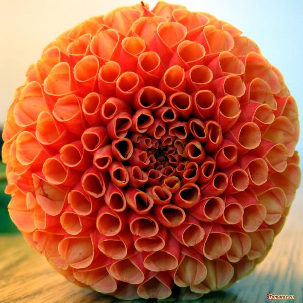 1265858076_flower-picture-macro-dahlia-johnny-huh