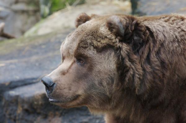 640069__kodiak-bear_p