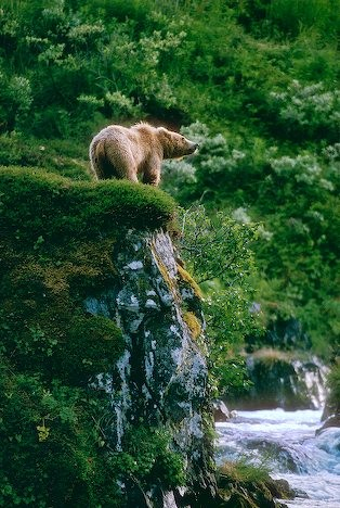 adolescent-kodiak-brown-bear_6681