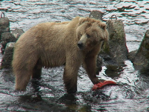 Kodiak_Bear_with_salmon,_USFWS_DI-DSC00044