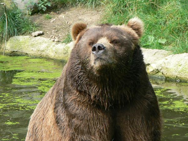 Closeup_kodiak_bear_hamburg