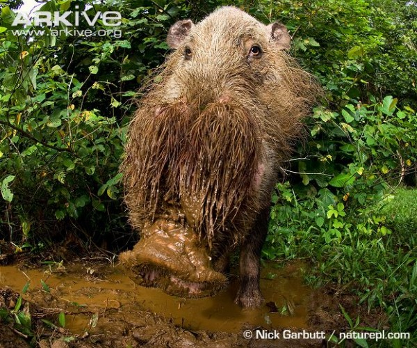 Bearded-pig-at-forest-wallow