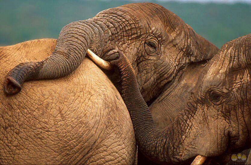 слон8