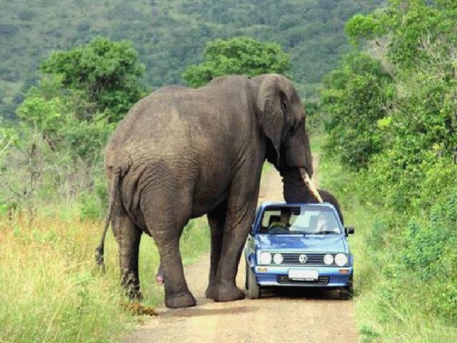 слон11
