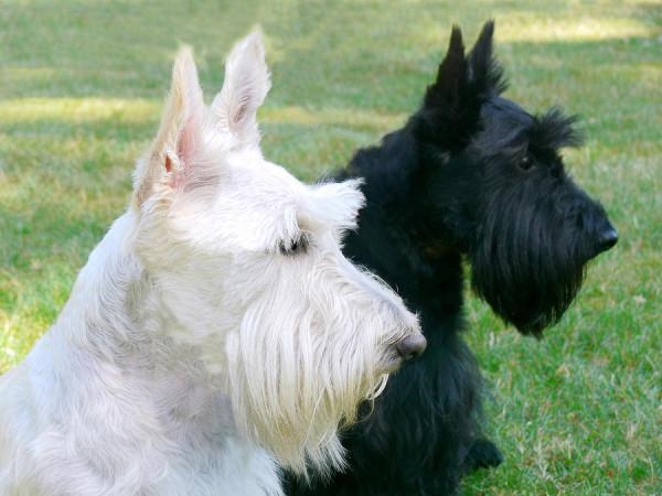 scottish-terrier-dogs-jennie-marie-schell