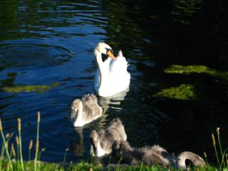 Лебедь и гадкие утята, они же лебедята:)