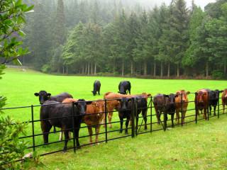 Коровы смотрят на тебя!