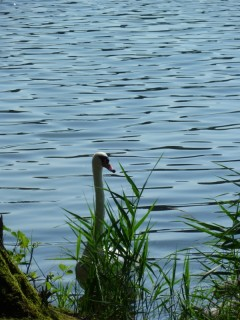 Лебедиха с озера Грутас на страже своих границ