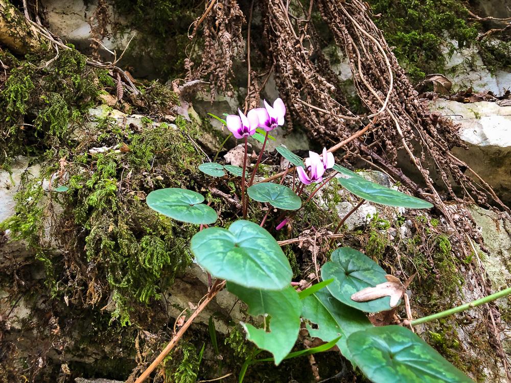 Зимняя весна в Сочи: первоцветы в Агурском ущелье