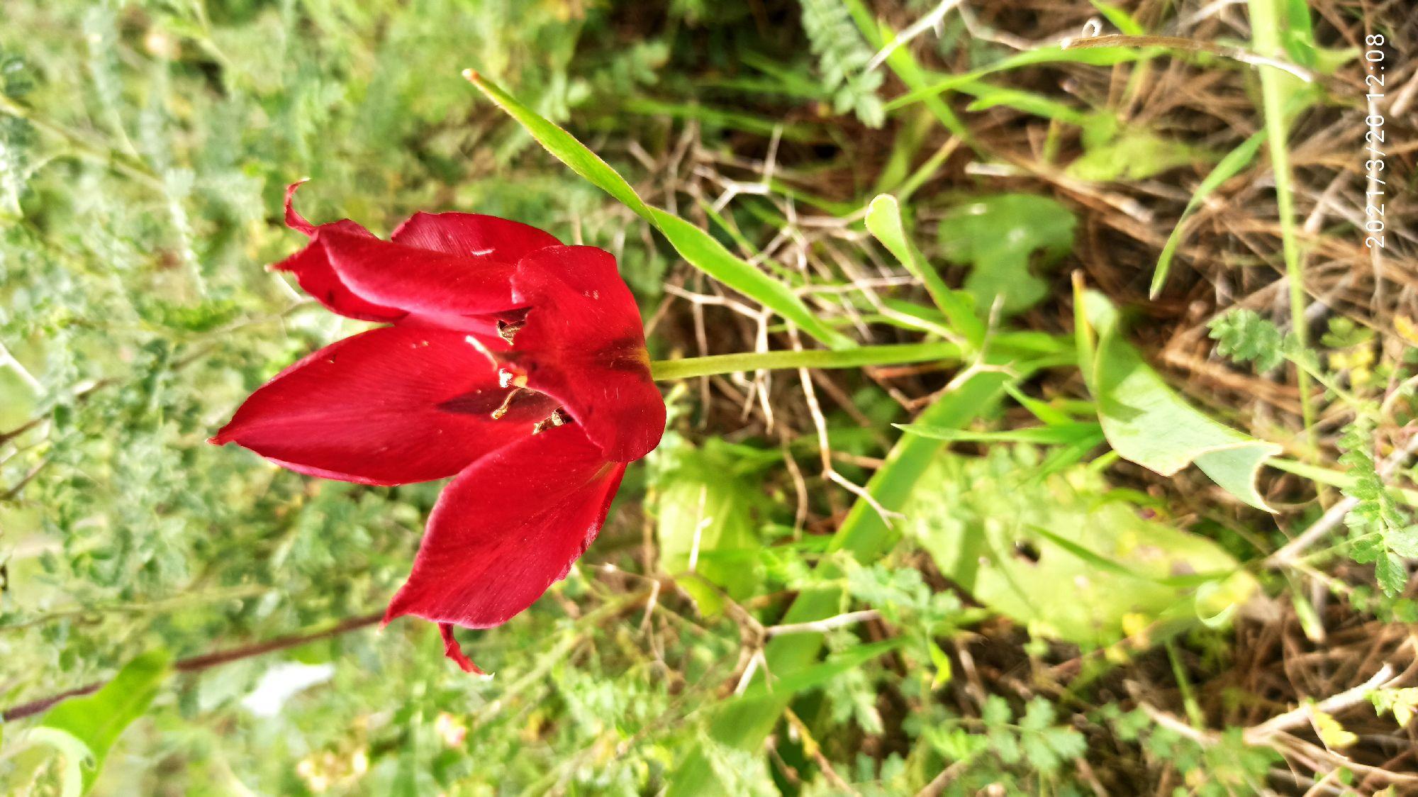 Поехали смотреть на цветение диких тюльпанов, но не успели. Похоже, что они уже отцвели, и мы увидели несколько из последних.