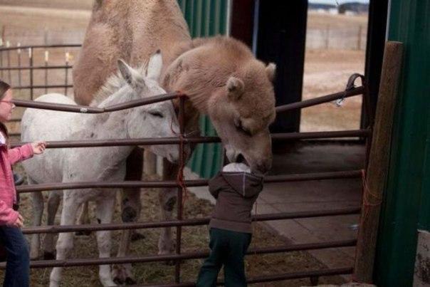 верблюд откусил голову ребенку