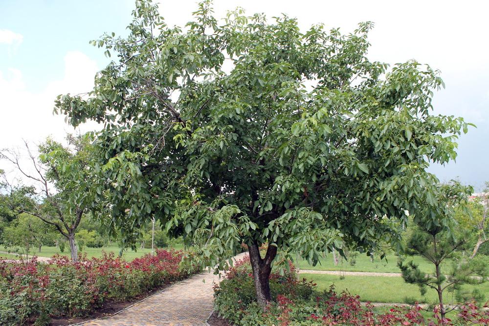 Дерево грецкий орех как растет
