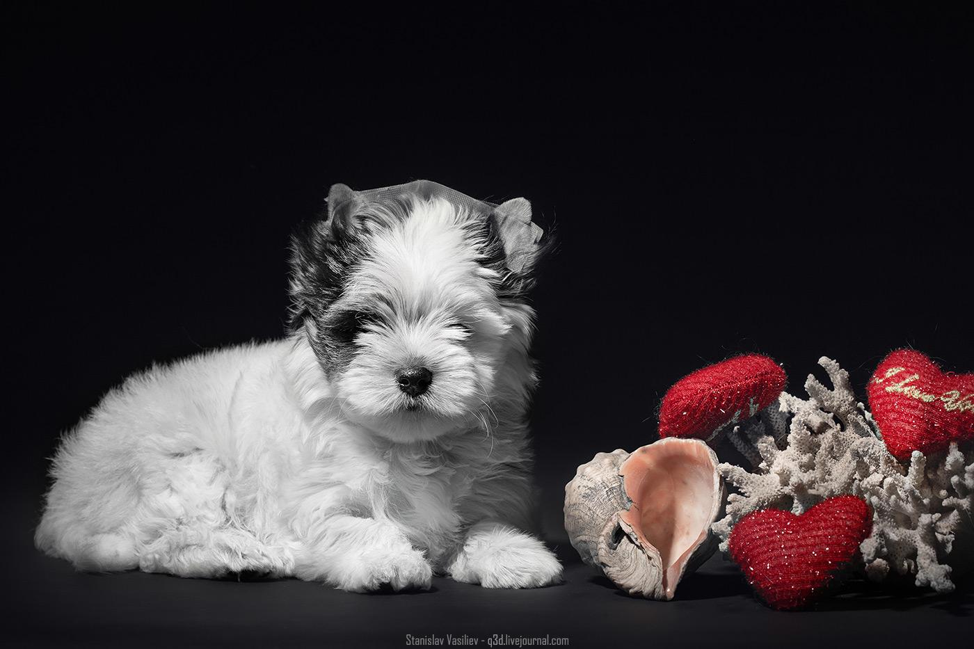 Биверы, порода собак